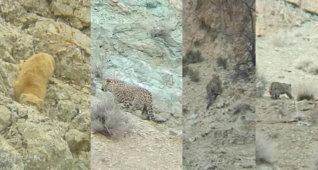 مشاهده و تصویر برداری از سه قلاده پلنگ و گربه پالاس در فیروزکوه